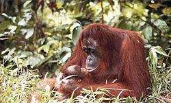 Орангутанги: наши братья по культуре