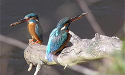 Неуловимые лазурные птицы